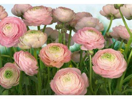 Fototapeta osmidílná Gentle Rosé - Růžové růže 368x254cm, 8D 8-894