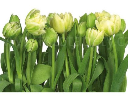 Fototapeta tapeta Tulips - Tulipány, 368x254cm, 8D 8-900