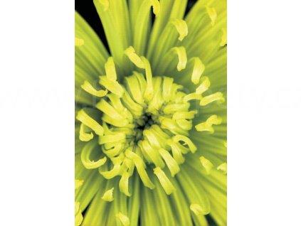 Dvoudílná obrazová tapeta Žluto zelený květ FT 0048, rozměr 180x 270cm, poslední 1 ks !!!