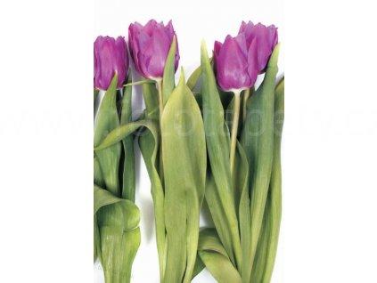 Dvoudílná obrazová tapeta Fialové tulipány FT 0066, rozměr 180x 270cm, poslední 1 ks