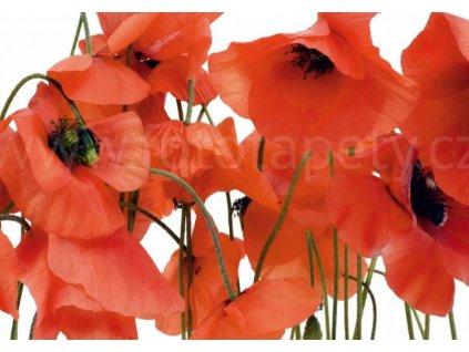 Čtyřdílná obrazová fototapeta Červené vlčí máky FTS 0479, rozměr 360 x 254cm