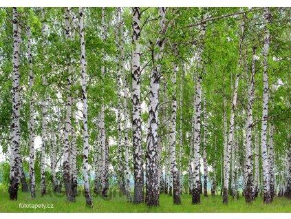 Čtyřdílná obrazová fototapeta Březový háj FTS 1304, rozměr 360 x 254cm