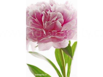 Maxiplakát - Pink Peony -  šířka 115 , výška 175cm, skladem poslední 1 ks !