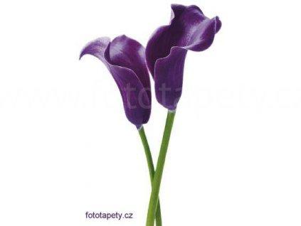 Maxiplakát - Purple calla lilies - šířka 115 , výška 175cm, skladem poslední 3 ks !