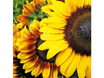 Třídílná vliesová fototapeta Slunečnice, rozměr 225x250cm, MS-3-0130