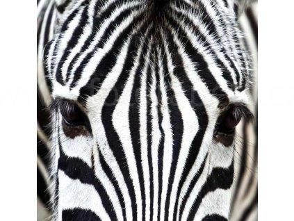Třídílná vliesová fototapeta Zebra, rozměr 225x250cm, MS-3-0234