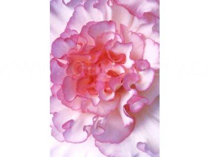 Čtyřdílná fototapeta Begonia, 183x254 cm, skladem poslední 1 ks!!!