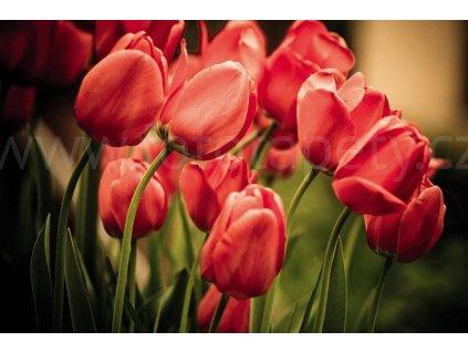Pětidílná vliesová fototapeta Červené tulipány, rozměr 375x250cm, MS-5-0128