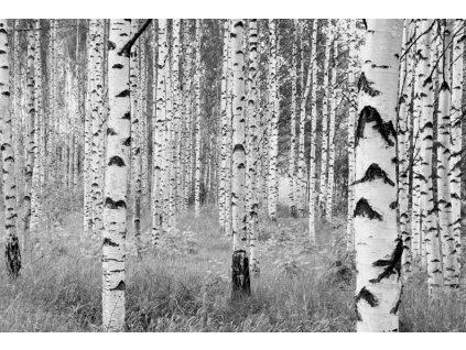Čtyřdílná vliesová fototapeta Břízy, 368x248cm, XXL4-023