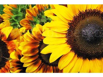 Samolepící fototapeta na podlahu - Slunečnice, 255x170cm, 003