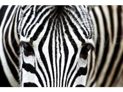 Samolepící fototapeta na podlahu - Zebra, 255x170cm, 008