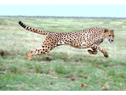 Cheetah - laminovaný plakát šíře 91,5cm, výška 61cm, skladem poslední 1ks