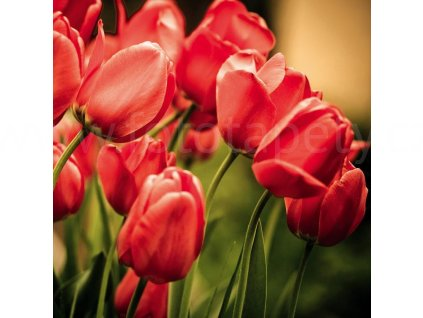 Samolepící fototapeta na podlahu - Červené tulipány, 170x170cm, 004