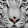 Samolepící velkoplošná nálepka - Tygr, 100x100cm