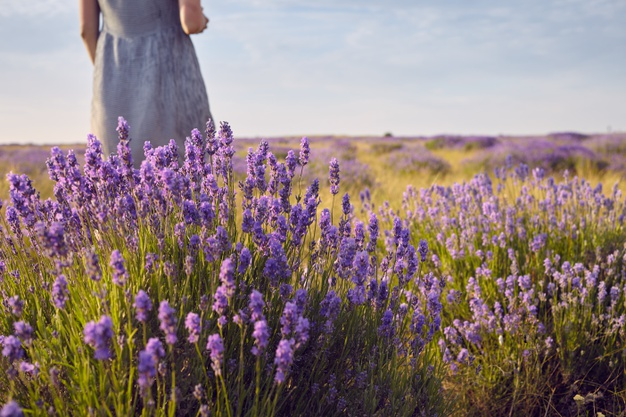 cropped-shot-unecognizable-woman-dress-standing-middle-summer-meadow-among-beautiful-light-purple-lavender-flowers-people-nature-travel-wildflower-countryside-rural-area_343059-717