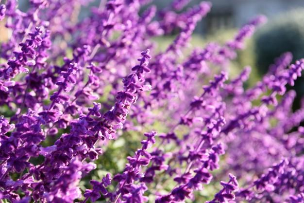 purple-lavender-closeup-background_1372-442