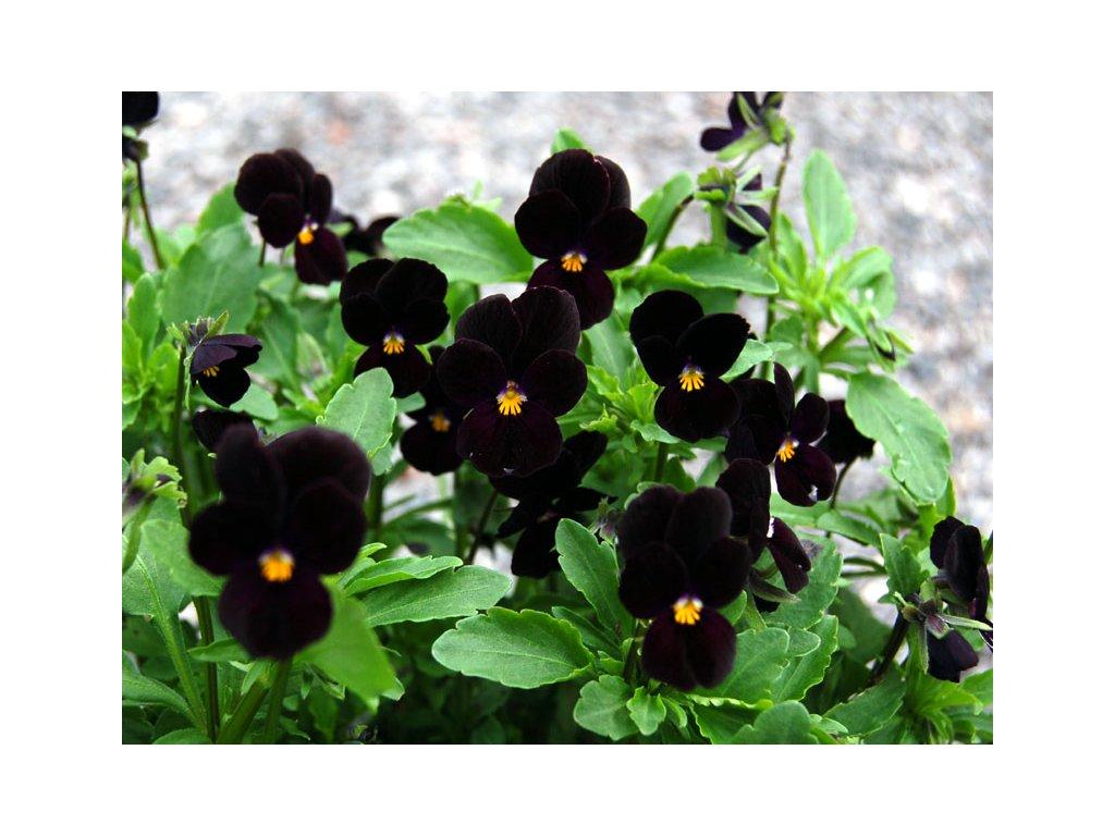 viola bowles black