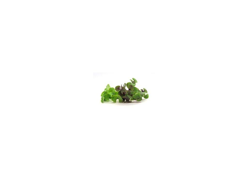 Bazalka Genovese - microgreens