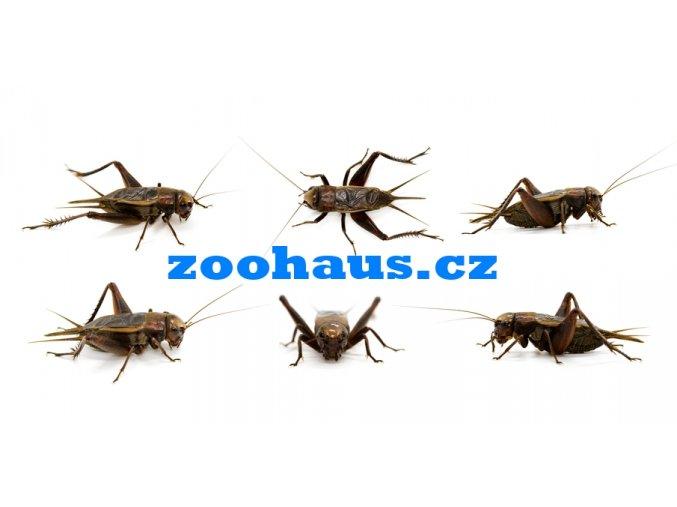 cvrčci zoohaus