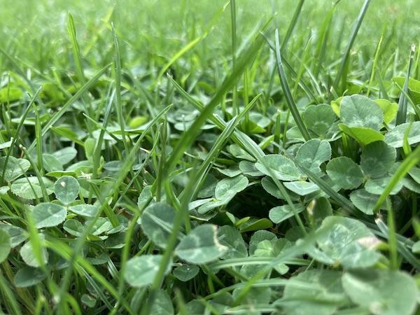 Jak na plevel v mladém trávníku?