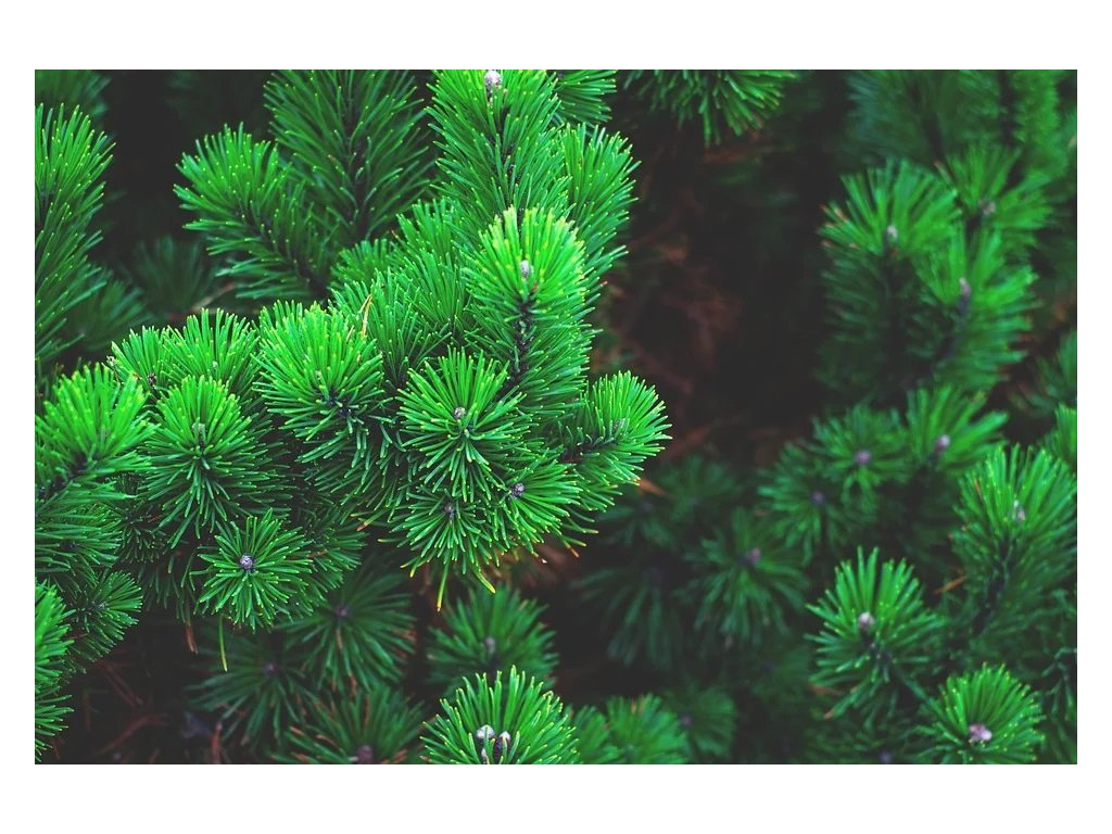 pine 1884335 960 720