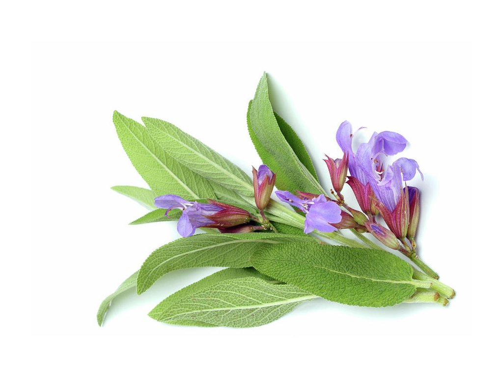common sage salvia officinalis bildagentur onlineth fotoscience photo library