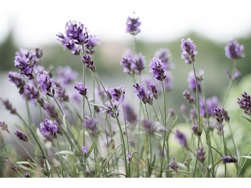 lavender 399273 1280