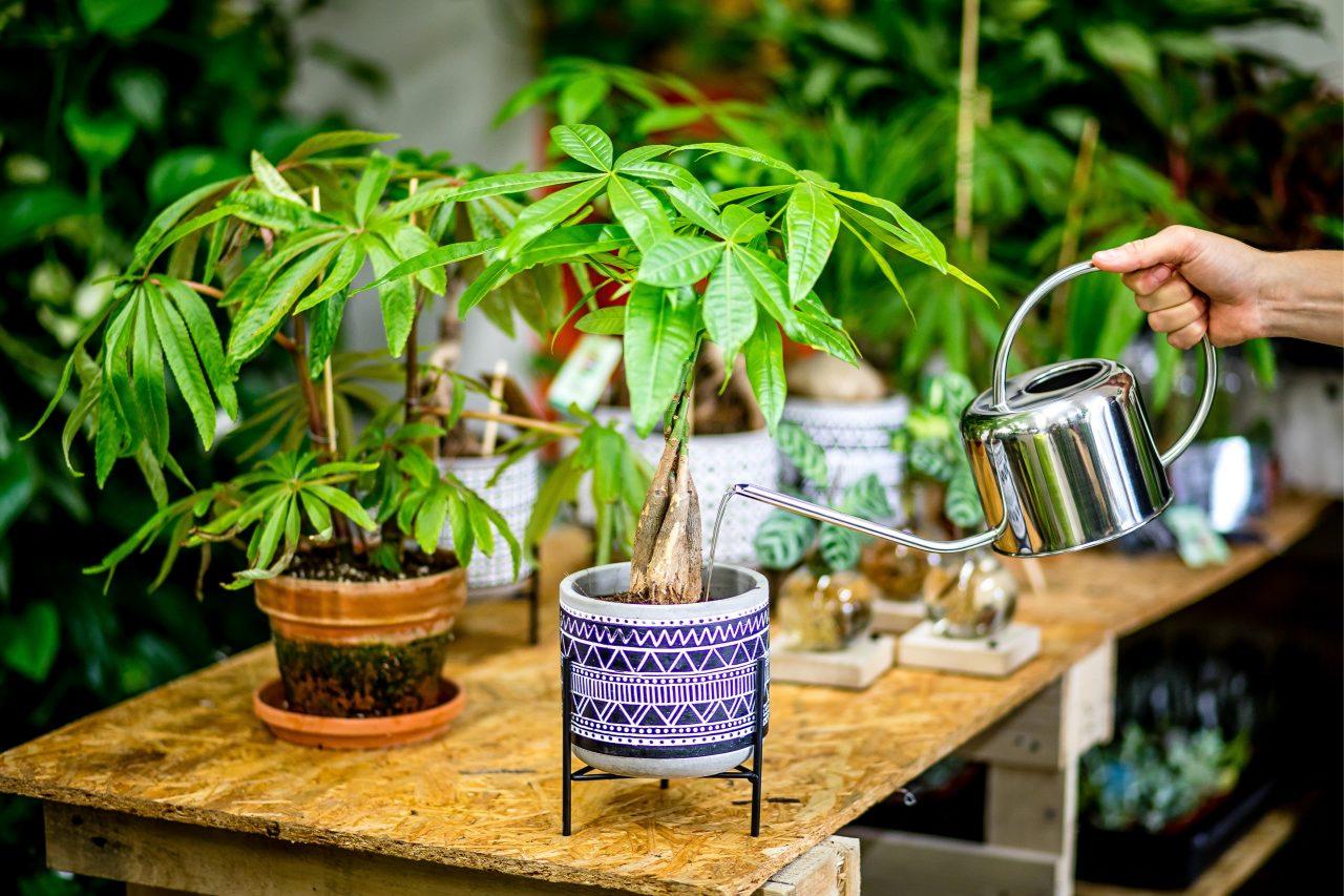Zalévání pokojových rostlin