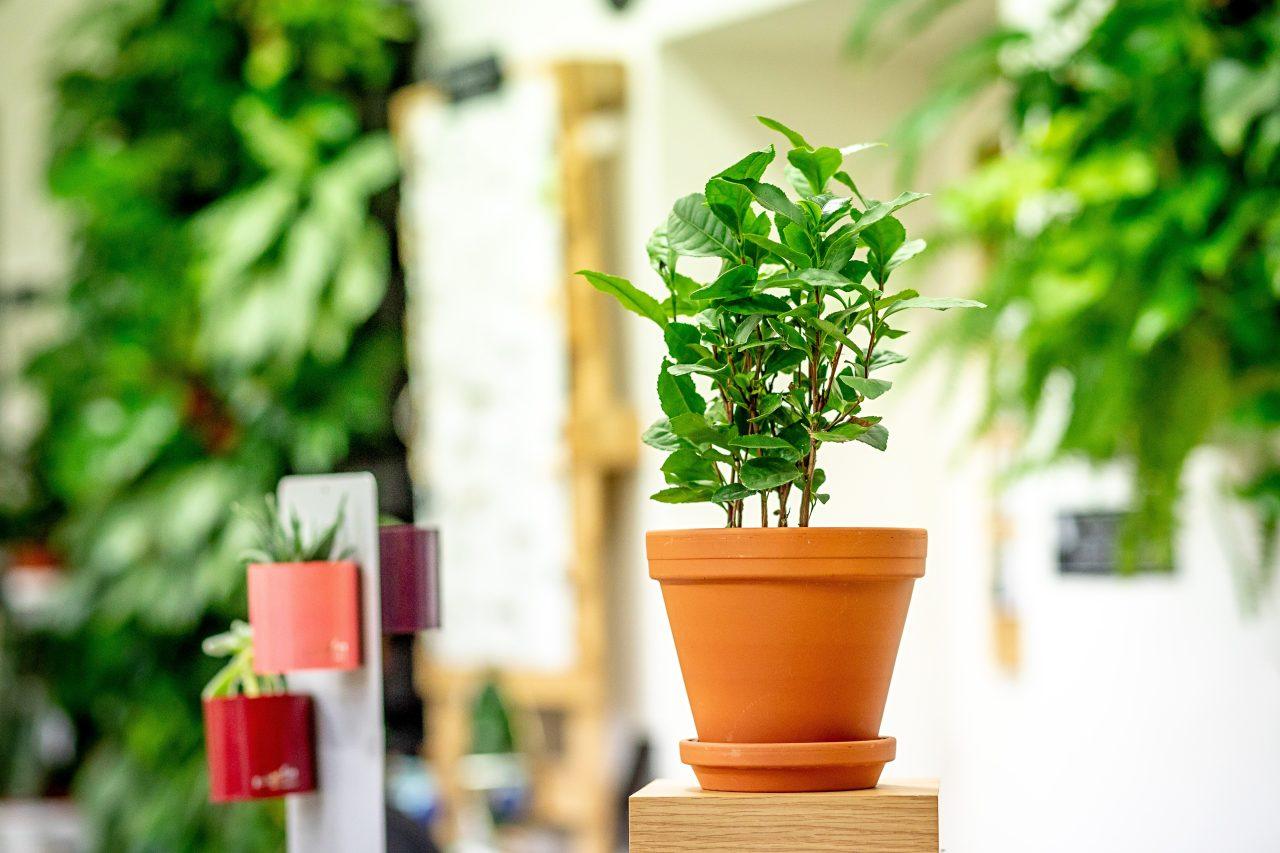Camellia Sinensis - vypěstujte si vlastní čaj