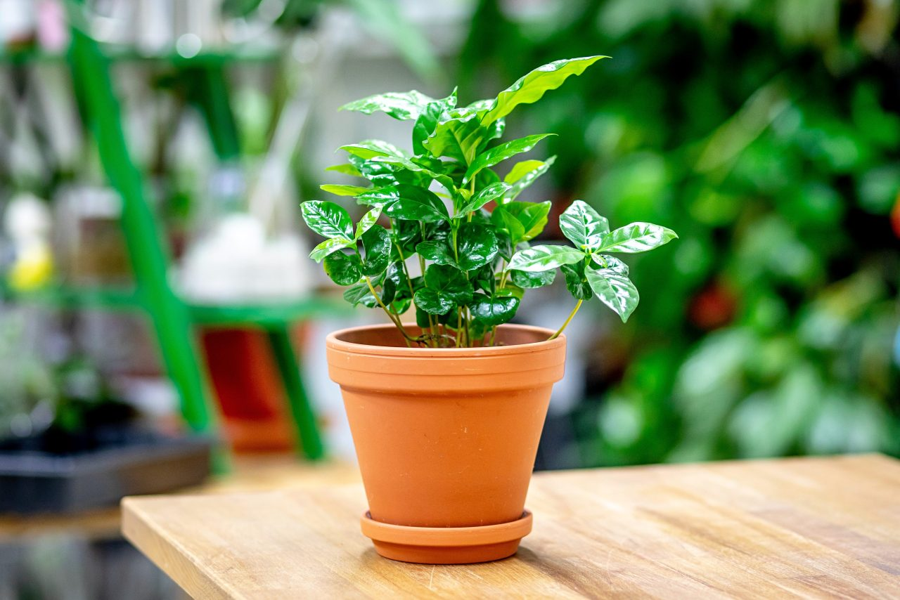 Kávovník, nenáročná rostlina tropů