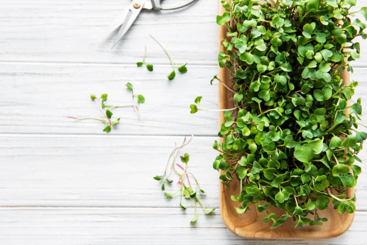 Jak pěstovat microgreens