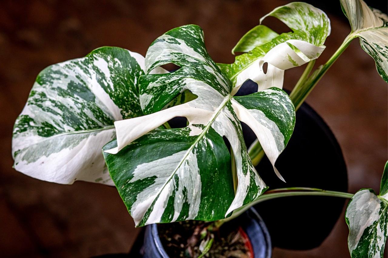 Variegátní neboli panašované rostliny