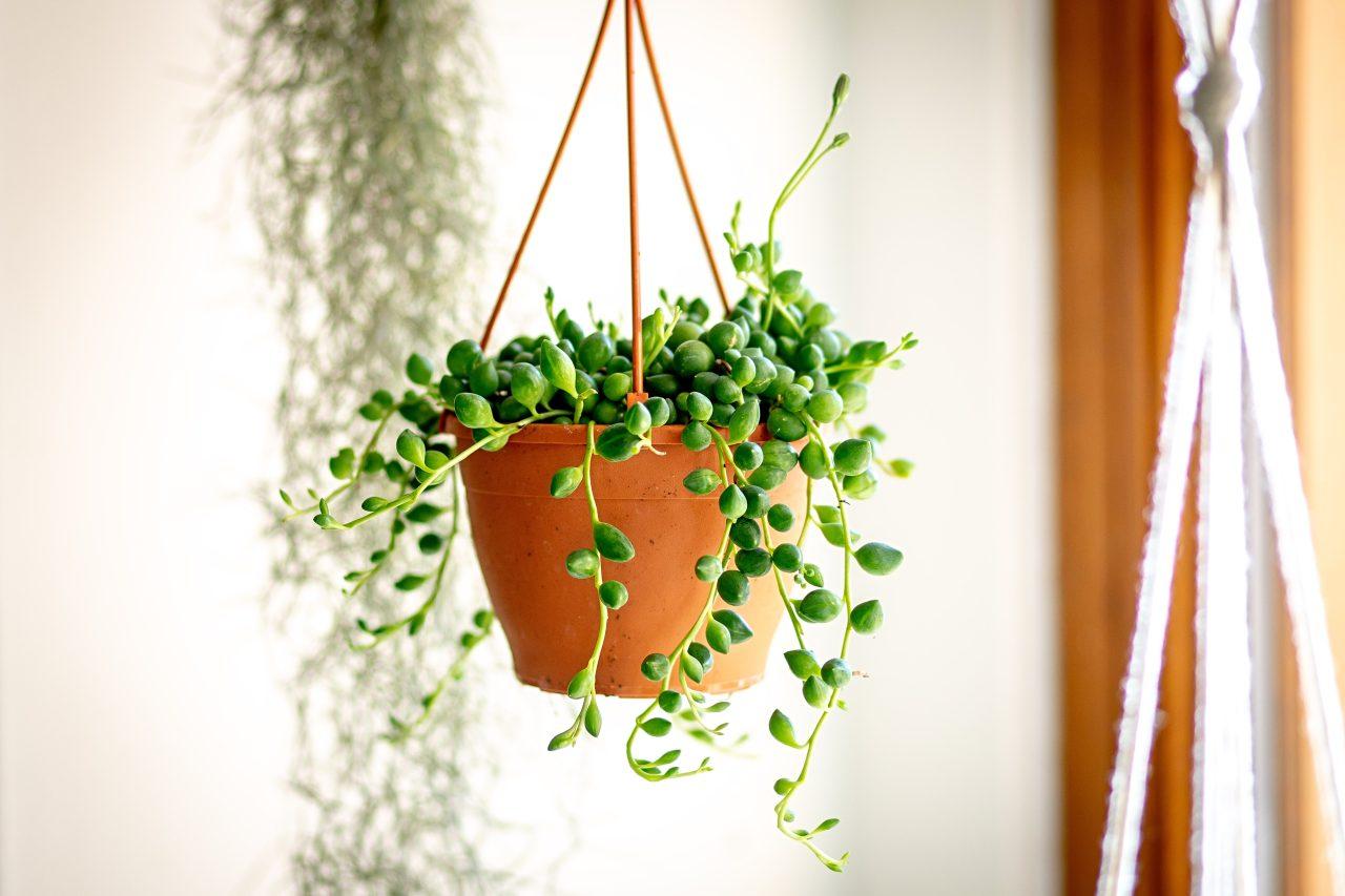 Převislé pokojové rostliny
