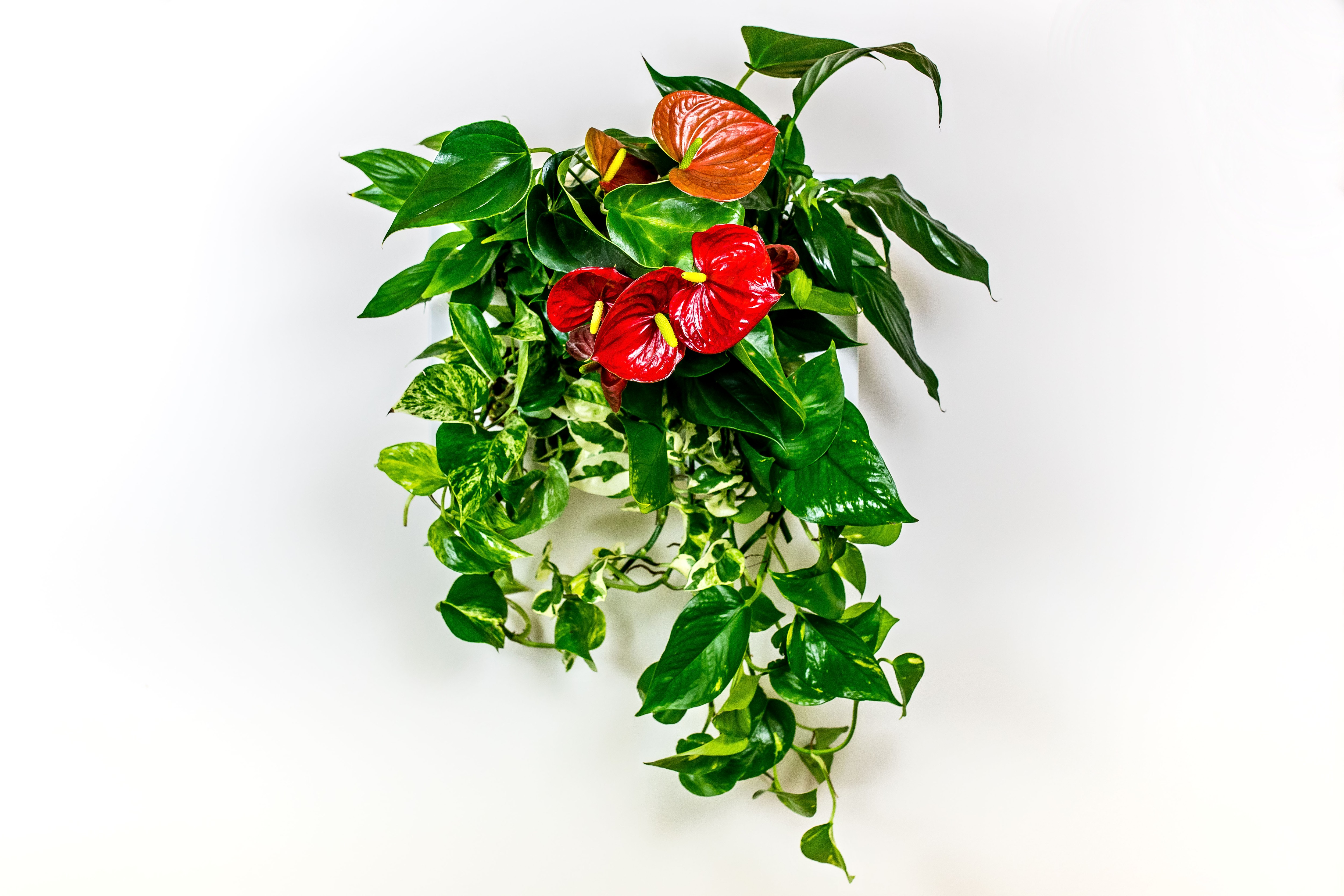 Anthurium, kráska z pralesů