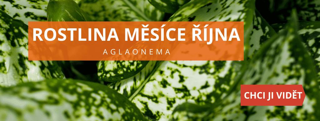 Rostlina měsíce října - Aglaonema