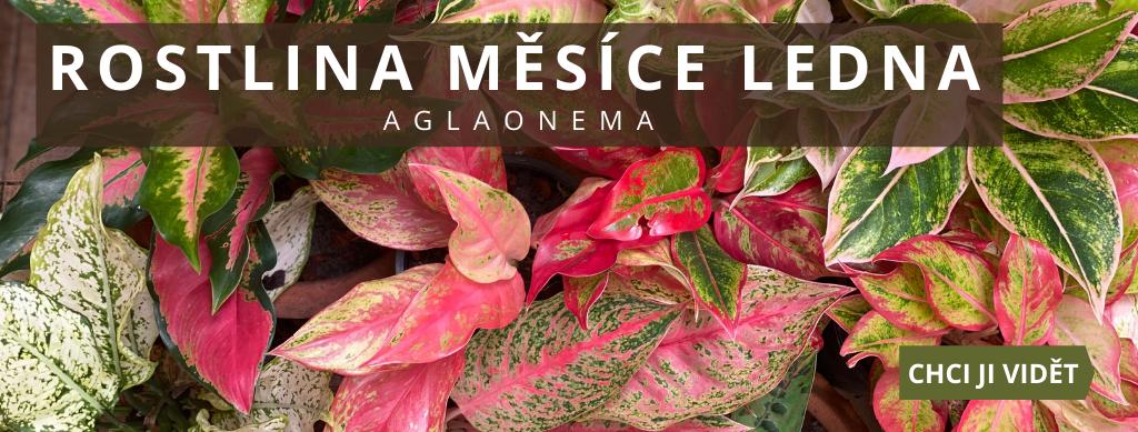 Rostlina měsíce ledna - Aglaonema