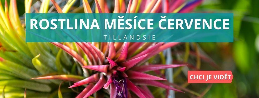 Rostlina měsíce července - Tillandsie