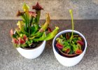 masožravé rostliny