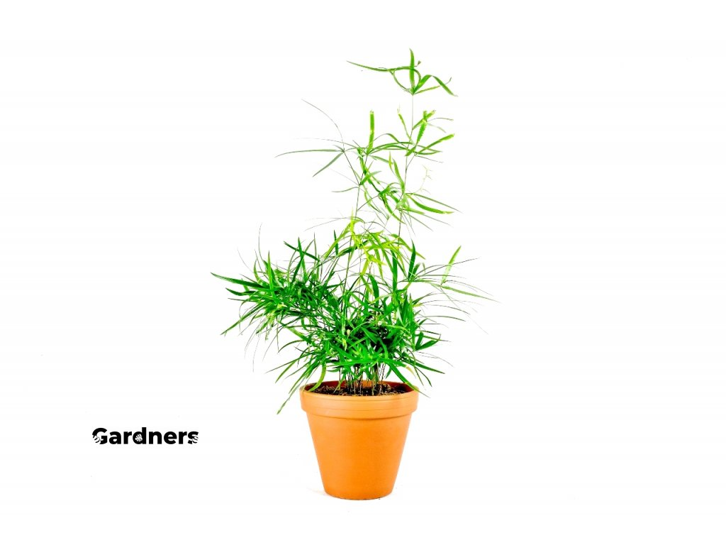Gardners.cz Asparagus falcatus