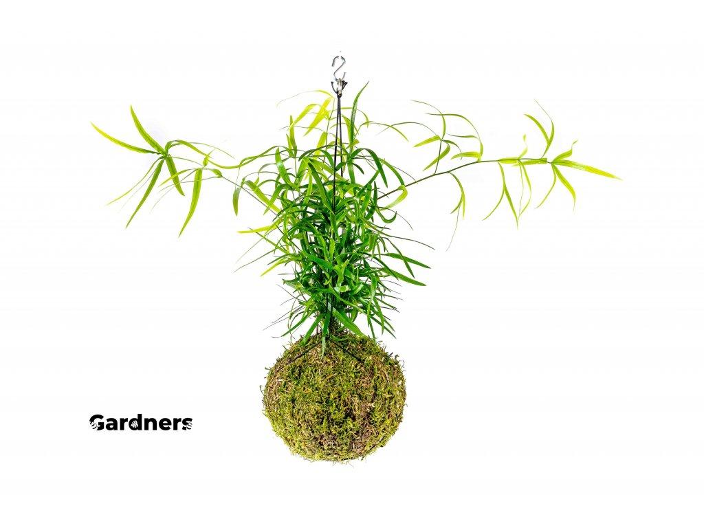 gardners.cz kokedama Asparagus Faltacus (2)