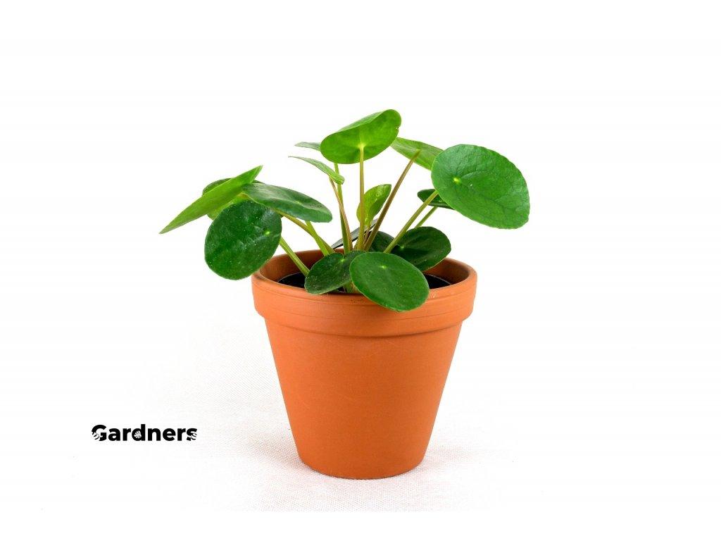 Gardners.cz Pilea 4