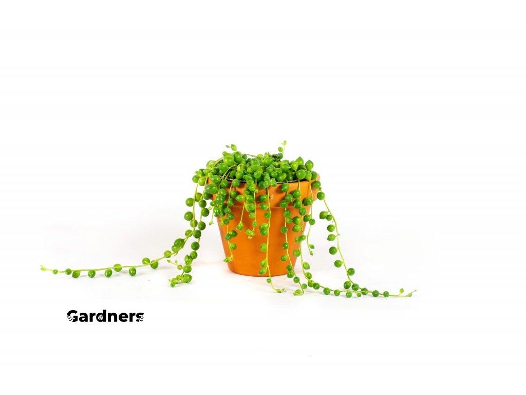 Gardners.cz Senecio rowleyanus