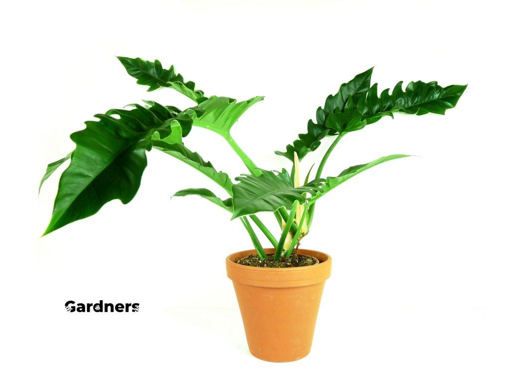 Gardners.cz Philodendron Narrow, průměr 17cm