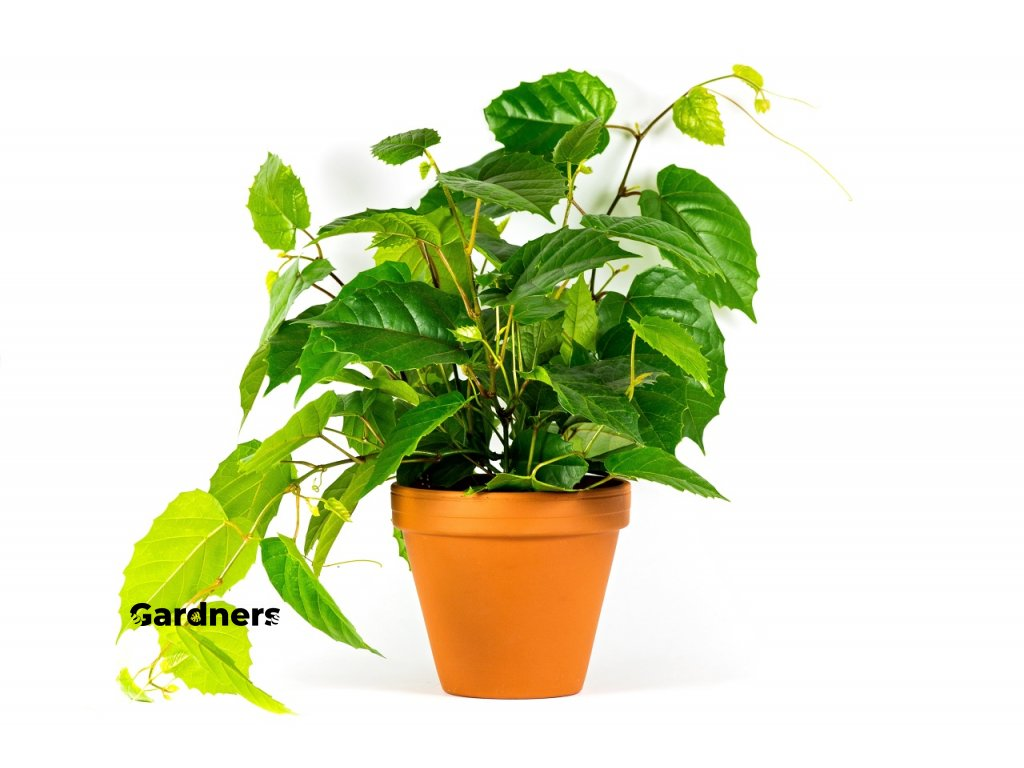 Gardners.cz Cissus 3