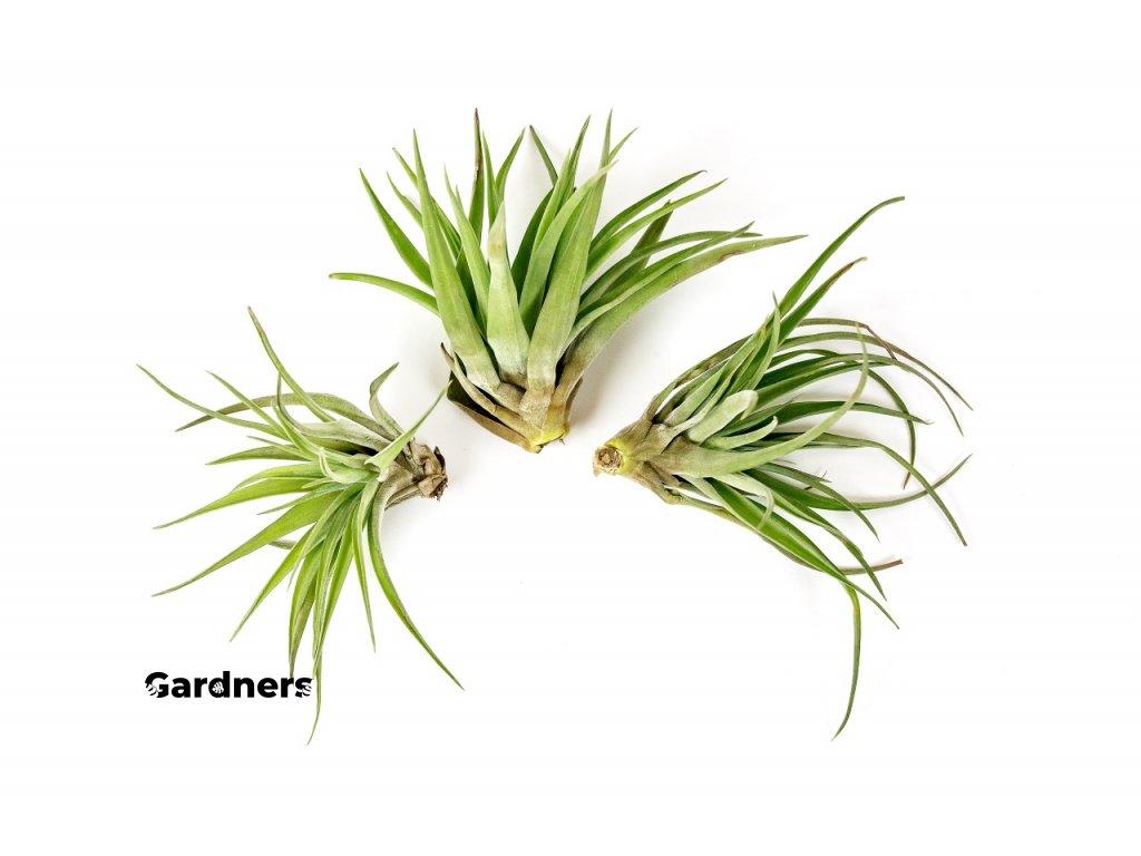 Gardners.cz tillandsia brachycaulos
