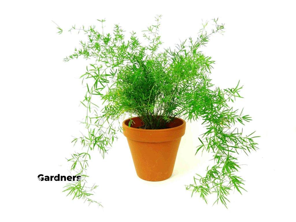 Gardners.cz Asparagus Sprengeri