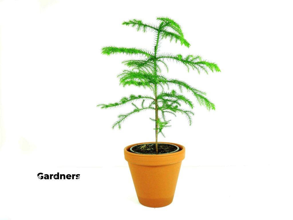 Gardners.cz Araucaria, průměr 12cm