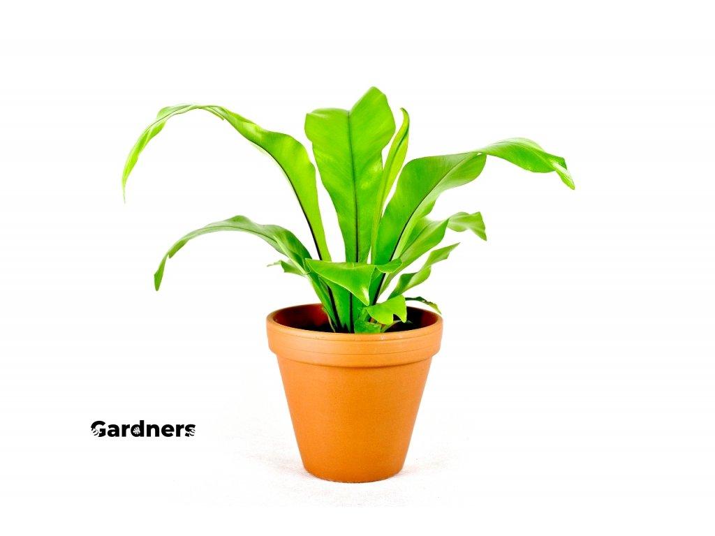 Gardners.cz Asplenium nidus