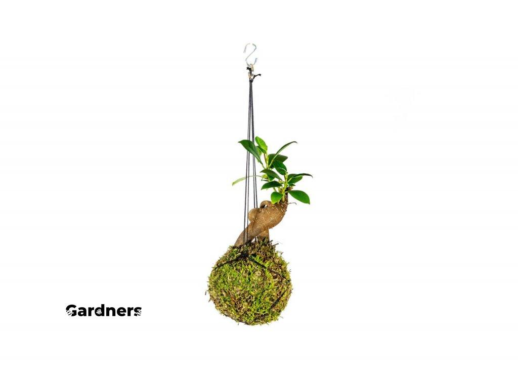 gardners.cz kokedama Ficus Microcarpa Ginseng (3)