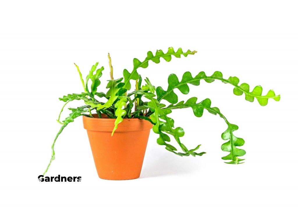 Gardners.cz Epiphyllum anguliger
